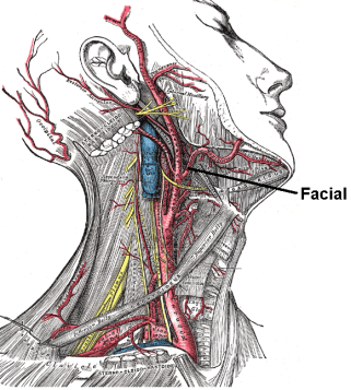 Facial_artery.PNG